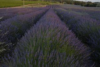 Lavenderfield09