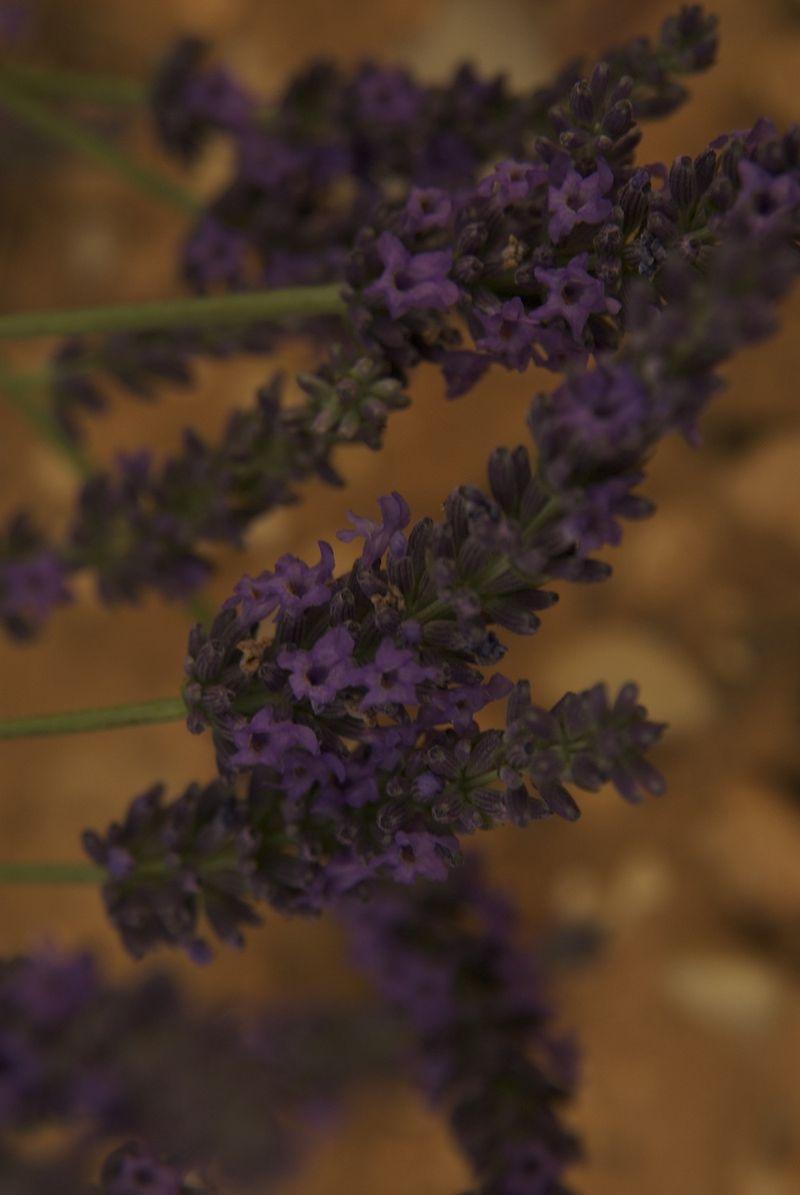 Purpleflorets
